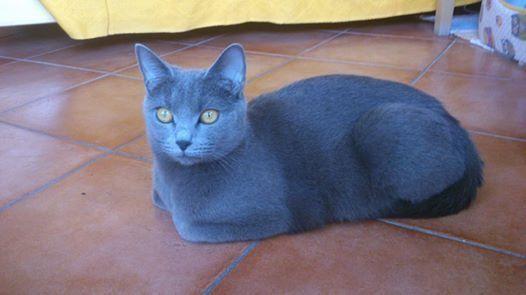 Il Gatto Certosino Razza Felina